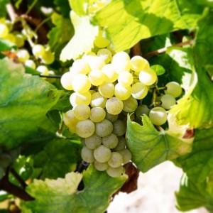 Uva Branca
